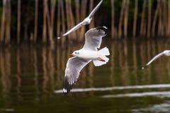 Sea gull. At bangpu, Thailand Stock Image
