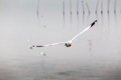 Sea gull. At bangpu, Thailand royalty free stock photo