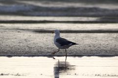 Sea Gull on the Beach. A single sea gull struts across the sands of a beach, looking for food Stock Photo