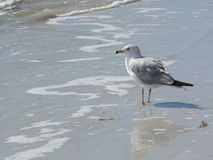 Sea Gull on beach. A Sea Gull looks out to sea royalty free stock image