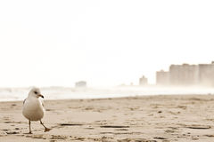 A sea gull on the beach of Atlantic City Royalty Free Stock Photos