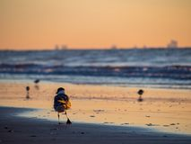 Sea Gull on Beach Near Water at Sunrise Royalty Free Stock Images
