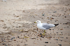 Sea gull and  beach stones. A sea gull walks along the lake shore that is strewn with colorful beach stones Stock Image