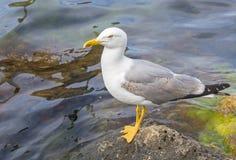Sea gull Stock Photos
