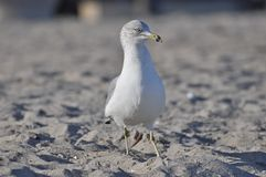Sea gull bird on a beach. Walking Royalty Free Stock Photography
