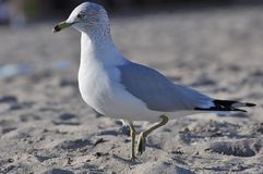 Sea gull bird on a beach. Walking Stock Photography