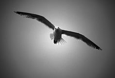 Sea Gull bird in flight. In black and white Royalty Free Stock Photo
