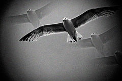 Sea Gull bird in flight. Abstract in black and white Royalty Free Stock Photo