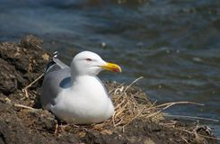 Sea-gull bird in the nest. On the rock Royalty Free Stock Photography