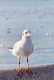Sea gull bird perching on bridge Royalty Free Stock Photos