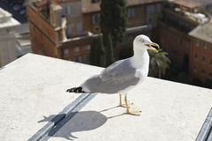 Sea Gull. The bird on the roof of the building Stock Images