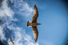 Sea Gull, Bird, Sky, Nature, Gull Royalty Free Stock Photo