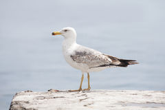 Sea gull bird. Standing sea gull bird close up. Wildlife Royalty Free Stock Photography