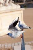 Sea gull bird starting to fly Stock Image