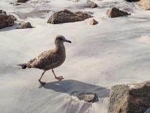Sea gull. Bird walking on the sand Royalty Free Stock Photos