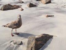 Sea gull. Bird walking on the sand Stock Image