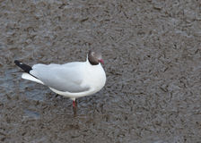 Sea gull birds ,brown headed gull in breeding plumage form stand Stock Images