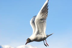 Sea gull in the blue. A sea gull on a blue sky background Royalty Free Stock Image