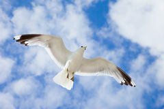 Sea Gull in the blue sky Royalty Free Stock Photography
