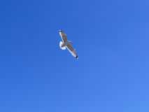 Sea gull in blue sky Stock Photo