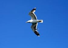 Sea gull on blue sky Stock Image