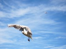 Sea gull in blue sky. Wild seagull bird flies. Blue sky Stock Photography