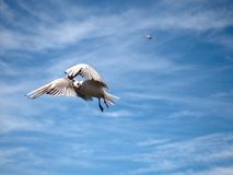 Sea gull in blue sky. Wild seagull bird flies. Blue sky Royalty Free Stock Image