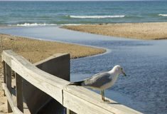 Sea gull and blue water. Sea gull takes a break on the wood railing on the shores of lake michigan in Indiana Stock Images