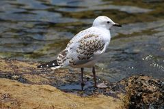 Sea gull with brown colouring stock photos