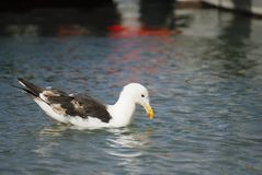 Sea Gull On Calm Water Stock Images