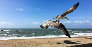 Sea gull carrying a starfish in Porto, Portugal Royalty Free Stock Photo