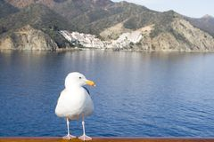 Sea Gull - Catalina Island in Blurry Background. Sea Gull in focus with a view of Catalina Island in the background in a blurry fashion... Very shallow depth of Stock Images