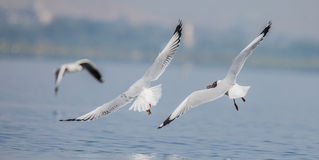 Sea gull catching fish royalty free stock images