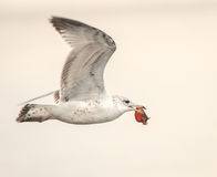Sea Gull with Crab Catch Royalty Free Stock Images