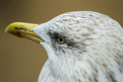Sea gull. A close up of a herring gull head some say a pest yet they are protected bird royalty free stock photography