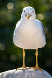 Sea gull close-up Stock Photography