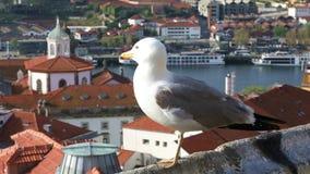 Sea gull close up stock video