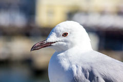 Sea Gull Stock Photos