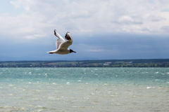 Sea gull. Closeup on a blurred backgrond Stock Image