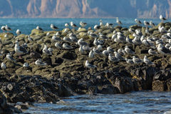 Sea Gull communicate in a flock on the rocks in Pacific Ocean. Stock Images