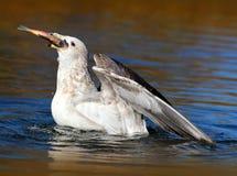 Sea Gull Eating A Kokanee Salmon. Sea Gull Swallowing a dead Salmon whole Royalty Free Stock Image