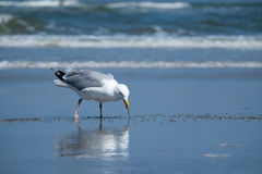 Sea gull eating a snack at the beach Royalty Free Stock Photos