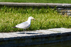 Sea gull eats a catched fish from a lake Stock Images