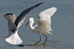 Sea Gull and Egret Fight Over Fish Dinner Stock Photo