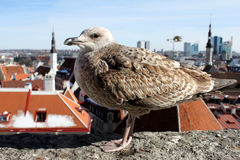 A sea gull is enjoying the view of an Old Town. In Tallinn, Estonia Stock Images