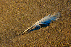 Sea Gull feather on beach Stock Image