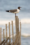 Sea Gull on Fence with Open Mouth. A seagull with it's mouth wide open perched on an erosion prevention fence at the beach Stock Image