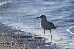 Sea Gull with Fish Royalty Free Stock Photos