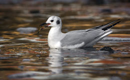 Sea Gull With Fish Wading in River Water Royalty Free Stock Images