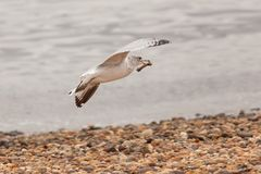 Seagull Flying with Chicken Bone. A sea gull flies along the Arthur Kill in New Jersey, with what appears to be a chicken bone in it`s beak. Photo taken in April Royalty Free Stock Image